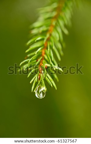 Close-up photo of coniferous twig with drop of water - stock photo