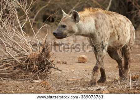 Close up photo of curious Spotted hyena, Crocuta crocuta with upright mane and tale, preparing for attack near watehole in Kruger National Park, South Africa. - stock photo