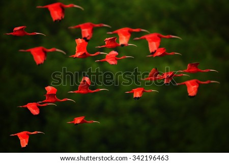 Close up photo of flock beutiful bright red birds Scarlet Ibis Eudocimus ruber returning to overnight in evening light, dark green blurred background. Nice red and green contrast. - stock photo