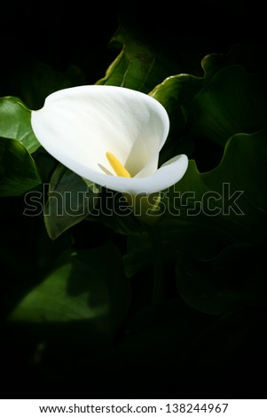 Close up photo of flower, white calla lily with blurred green leafs in back - stock photo