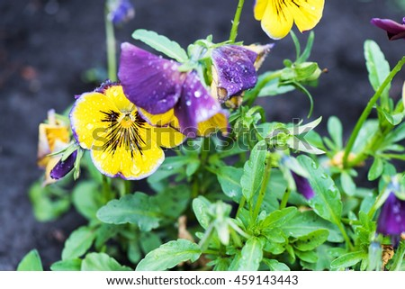 Close up photo of yellow and purple viola tricolor pansy flowers in the garden. - stock photo