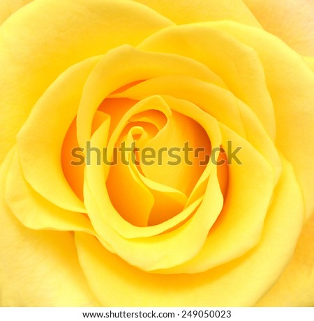 Close-up photo of yellow rose flower  - stock photo