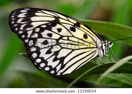 Close-up picture of a rice paper butterfly - stock photo