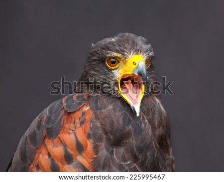 Close up picture of braying young golden eagle - stock photo