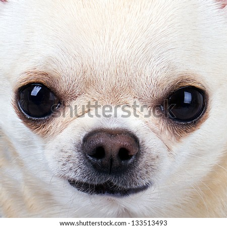 close up picture of chihuahua - stock photo