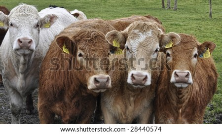 close up picture of cows - stock photo