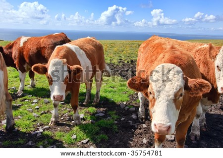close up picture of cows in a field - stock photo