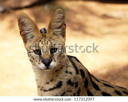 Close-Up Picture of Face of a Serval African Wild Cat - stock photo