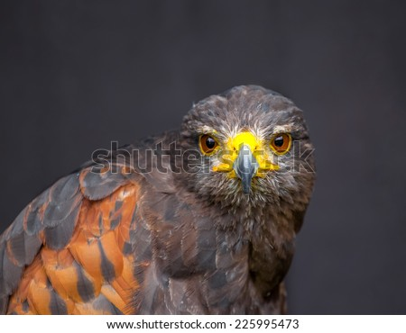 Close up picture of stare-looking young golden eagle - stock photo
