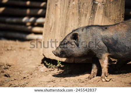 close up piglet at the mountain hill village in Thailand   - stock photo