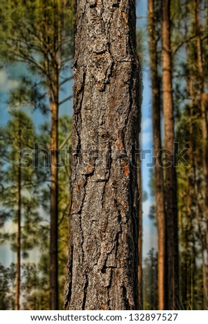 close up pine tree in a forest - stock photo