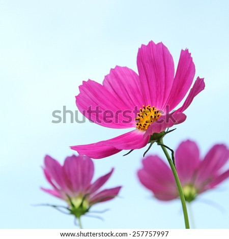 Close up pink cosmos flowers in the garden - stock photo