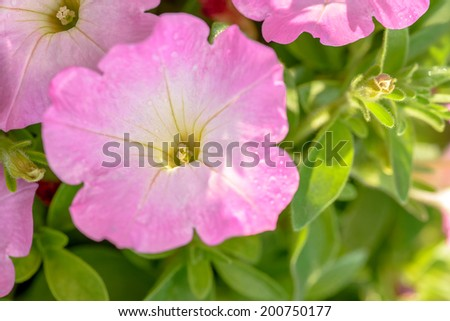 close-up pink flowers in the garden blue sky background bell flowers on sunshine soft light leaf green in the morning,be fresh, be lively - stock photo
