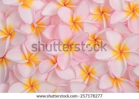Close up pink Frangipani or plumeria flowers background. - stock photo