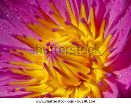 Close up pink lotus - stock photo