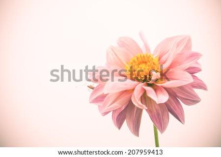 close up pink vintage flower   - stock photo