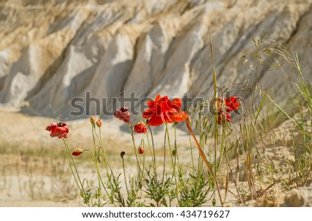 Close up poppies in white sand. - stock photo