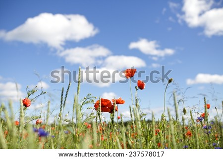 Close up poppy against blue sky - stock photo