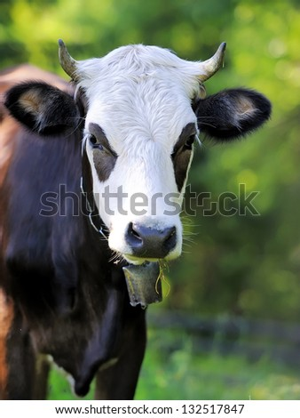 Close-up portrait cow on a meadow - stock photo
