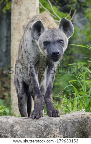 Close-up portrait image of a Spotted Hyena standing amongst the rocks - stock photo