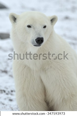 Close up portrait Male polar bear (Ursus maritimus) on the snow white natural background - stock photo