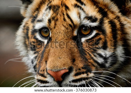 close-up portrait of a beautiful big tiger - stock photo