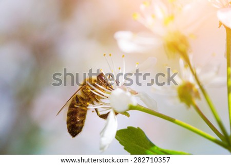 Close-up portrait of a bee on a  blossoming cherry tree. - stock photo