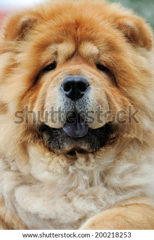 Close-up portrait of a dog chow chow - stock photo