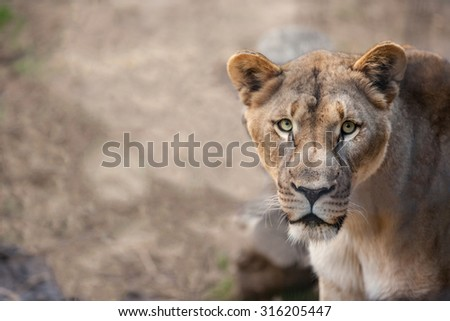 Close up portrait  of a female lion - stock photo