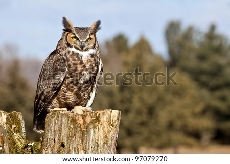 Close up portrait of a Great Horned Owl, perched on a tree stump.  Numerous other owl and wildlife images may be seen in my portfolio. - stock photo