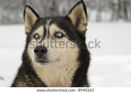 Close Up portrait of a Greenland Sledge Dog on alert - stock photo