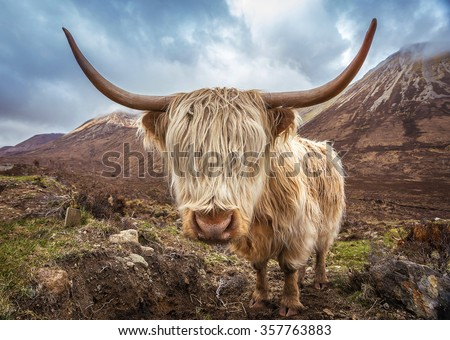 Close up portrait of a Highland Cattle at the Glamaig mountains on Isle of Skye, Scotland, UK - stock photo