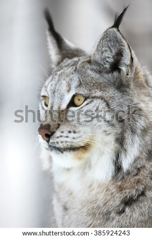 Close-up portrait of a lynx in the winter forest - stock photo