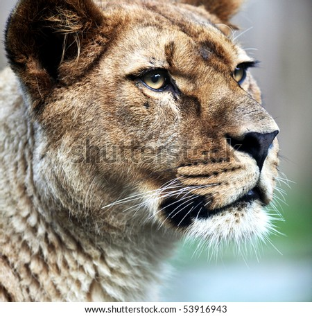 Close-up portrait of a majestic lioness (Panthera Leo) in nature - stock photo