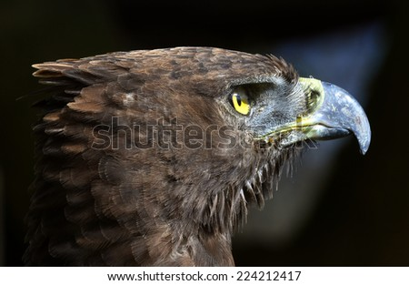 Close-up Portrait of a martial eagle (Polemaetus bellicosus), South Africa - stock photo
