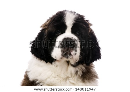 Close up portrait of a St Bernard Puppy isolated on a white background - stock photo