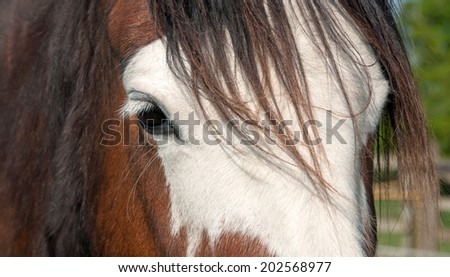 Close up portrait of a thoroughbred horse - stock photo