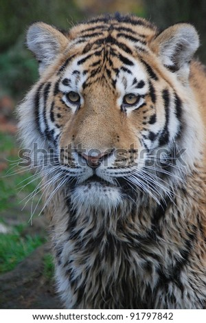 close up portrait of a wet tiger - stock photo