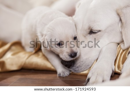 close up portrait of a white labrador retriever mother with puppy - stock photo
