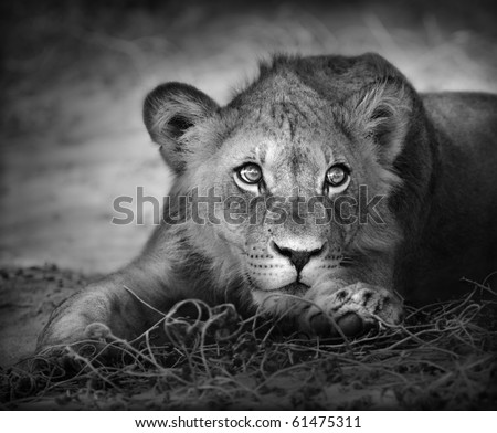Close-up portrait of a young lion; panthera leo - stock photo