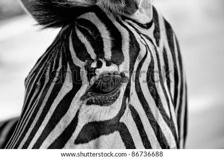 Close-up portrait of a zebra's head - stock photo