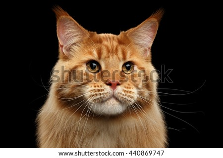 Close-up Portrait of Adorable Ginger Maine Coon Cat Curious Looking in Camera Isolated on Black Background, Front view - stock photo