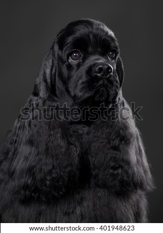 Close-up portrait of American Cocker Spaniel dog - stock photo
