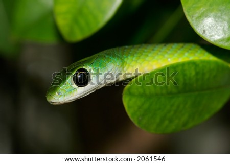Close-up portrait of an eastern green snake (Philothamnus natalensis), South Africa - stock photo
