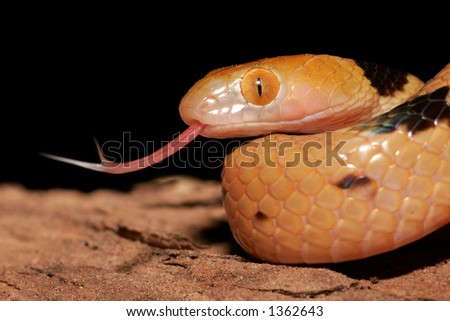 Close-up portrait of an Eastern tiger snake (Telescopus semiannulatus), South Africa - stock photo