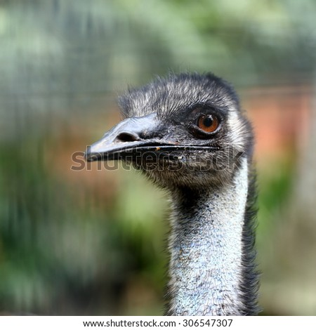 Close-up Portrait of an Emu with Curious Look  - stock photo