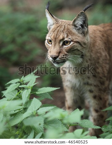 Close-up portrait of an Eurasian Lynx (Lynx lynx) - stock photo