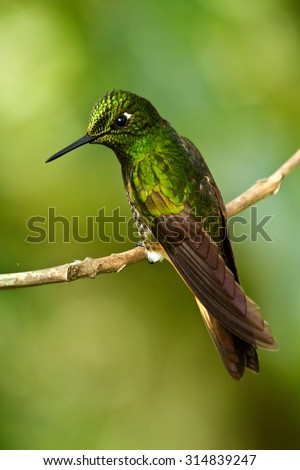 CLose-up portrait of beautiful green hummingbird in Cotojocha, Ecuador - stock photo