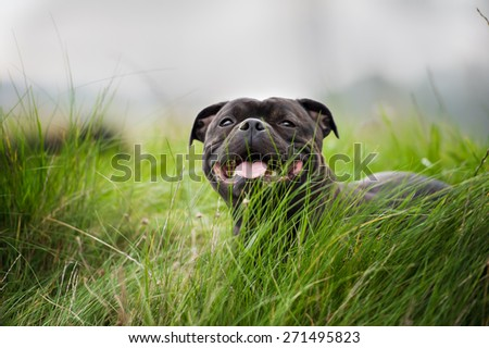 Close-up portrait of black staffordshire bull terrier lying on lawn grass  - stock photo