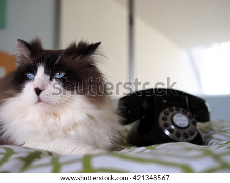 Close Up Portrait of Blue Eyed Long Haired Bi-Color Brown White Ragdoll Cat with Black Button Nose sitting in Bed with Vintage Black Phone - stock photo